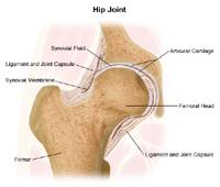 Anatomy of the hip joint
