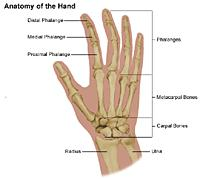 Illustration of the anatomy of the hand