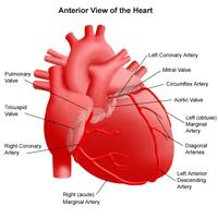 Illustration of the anatomy of the heart, anterior view