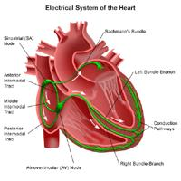 Illustration of the anatomy of the heart, view of the electrical system