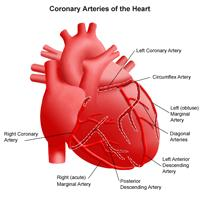 Illustration of the anatomy of the heart, view of the coronary arteries
