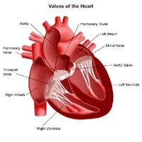 Anatomy of the heart, view of the valves