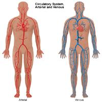 Illustration of the circulatory system, arterial and venous