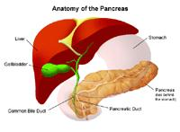 Illustration of the anatomy of the pancreas