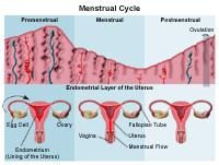 Illustration of the the menstrual cycle