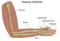 Illustration of the anatomy of the arm
