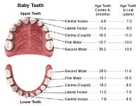 Illustration demonstrating the age of eruption and shedding of teeth, baby teeth
