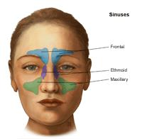 Illustration of sinuses, adult