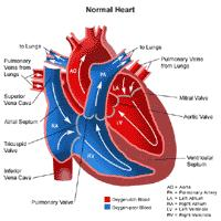 Illustration of the anatomy of the heart, normal