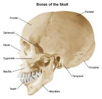 An illustration of the bones of the skull