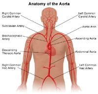 Illustration of the anatomy of the aorta