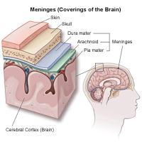 Ilustration of the meninges