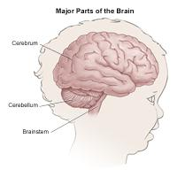 Major parts of the brain, child