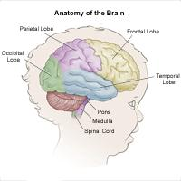 Anatomy of the brain, child