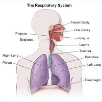 Illustration of the anatomy of the respiratory system